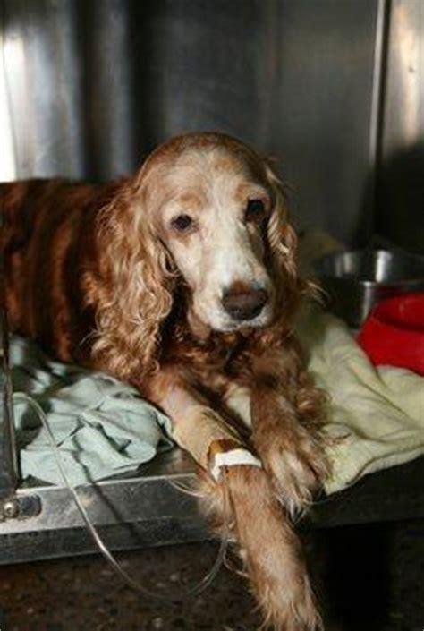 distemper symptoms in puppies canine distemper in dogs symptoms