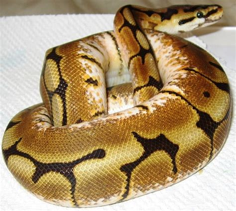 woman finds python in bathroom toronto woman finds python snake in her bathroom