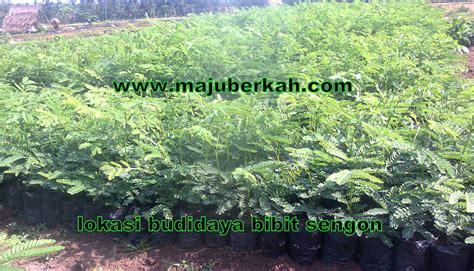 Bibit Tanaman Sengon bibit tanaman murah jenis jenis tanaman memilih tanaman unggul