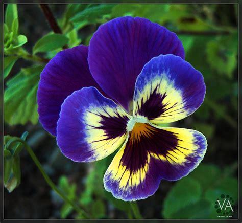 imagenes de flores llamadas pensamientos blue pansy at san millan pensamiento azul en san millan