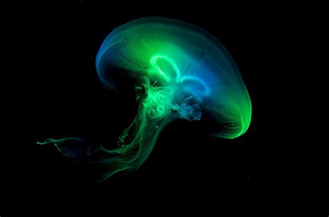 Oxy Jelly Blue Glowing science task how do organisms produce light without producing heat luminescence