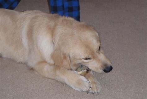 golden retriever 10 months take pictures of my 10 month golden retriever doing silly things