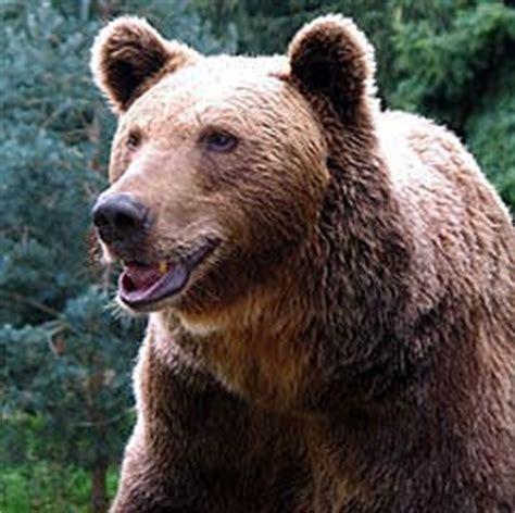 imagenes de animales que hibernan 191 por qu 233 hibernan los osos saberia