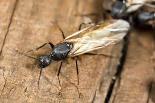 swarming insect tips for carpenter ants