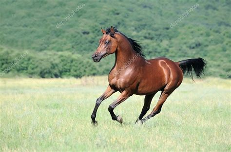 3in1 Arabic Overall beau cheval arabe brune galop en cours d ex 233 cution dans les p 226 turages photographie dozornaya