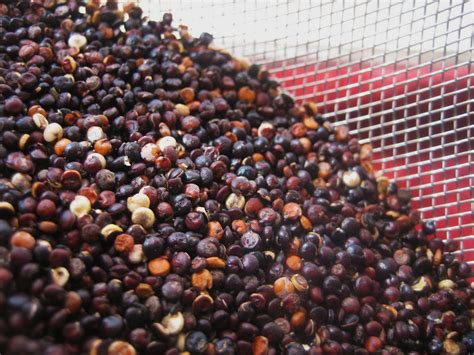 black quinoa preparing wisely black quinoa 101 how to cook it and