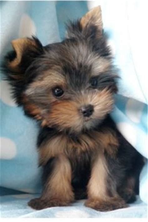 black and yorkie 59 best images about biewer yorkies on shedding i want and yorkie
