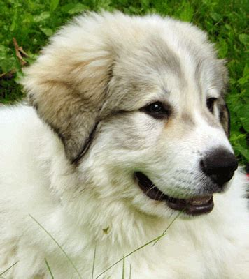 free great pyrenees puppies great pyrenees puppies sale price