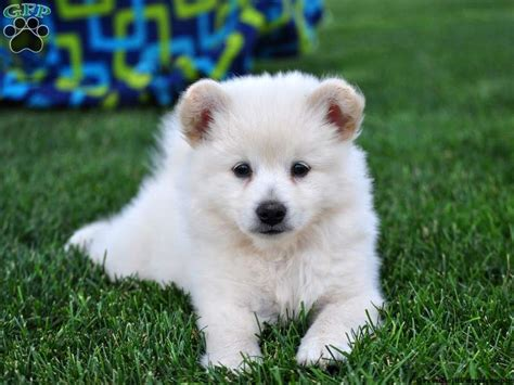 snowball puppy snowball eskipom puppy for sale in pennsylvania