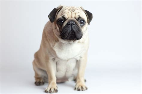 inbred dogs inbreeding in dogs problems benefits and reasons pets4homes