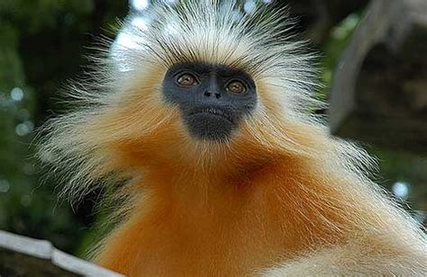 langurs large long limbed  handsome animal pictures  facts factzoocom