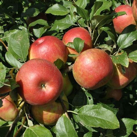 apple tree honeycrisp apple apple trees stark bro s