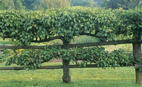 how to grow espalier apple trees vegetable gardener