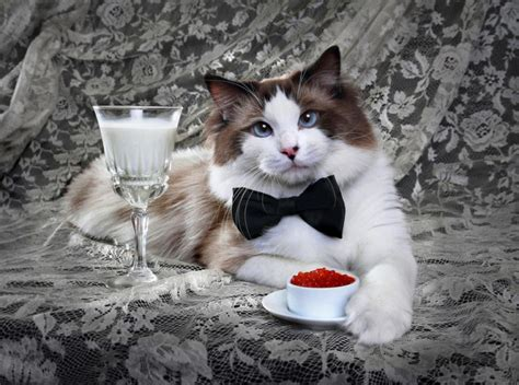 nomi per gatti persiani nomi gatti nobili nomi per gatti