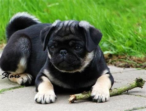 chocolate pug puppies dezinerbullz co uk