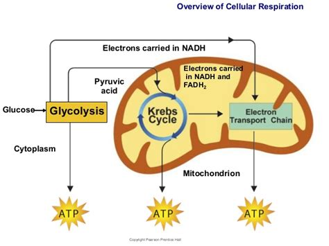 cell energy photosynthesis and respiration section 6 1 answers cellular respiration unweaving the rainbow