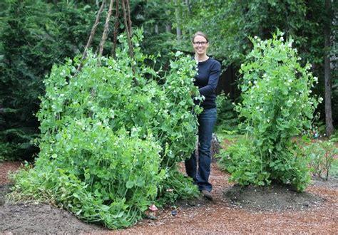 Exceptional Garden City Harvest #2: Sugar-snap-peas-grow-on-teepees.jpg