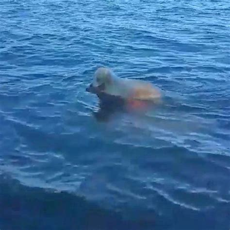 of saving baby deer heroic battles to save baby deer after it gets stranded out at sea mirror