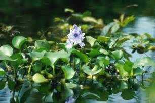 Water Hyacinth Research Paper by File Water Hyacinth Jpg Wikimedia Commons