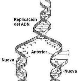 cantidad de cadenas del adn la duplicaci 243 n del adn el adn