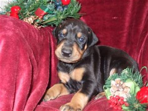 puppies for sale akron ohio doberman puppies for sale in akron ohio