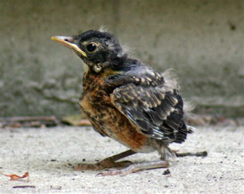 file robin chick 2 galawebdesign jpg wikipedia