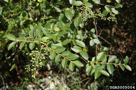 Shrubs That Flower In May - chinese privet ligustrum sinense scrophulariales oleaceae