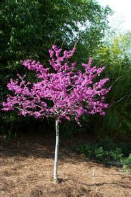 small purple tree 1000 images about garden trees on butterfly