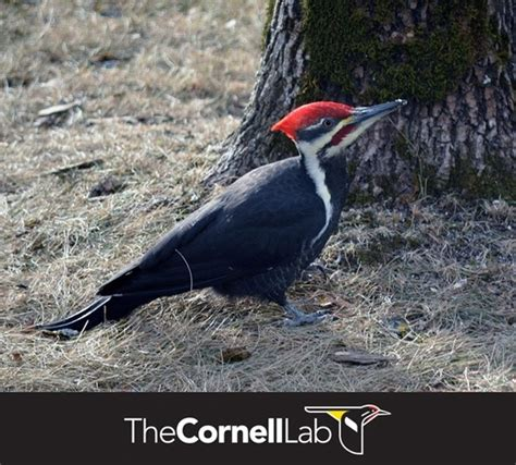 9 best images about all about pileated woodpeckers on