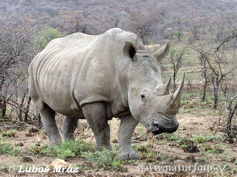 imagenes rinoceronte blanco rinoceronte blanco fotos fotograf 237 a