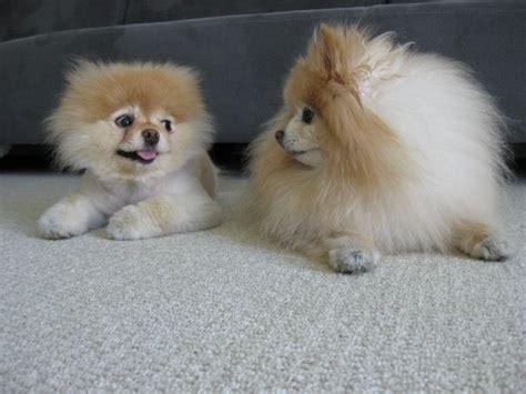 bo the pomeranian pies boo ulubieniec internaut 243 w kar ma pl