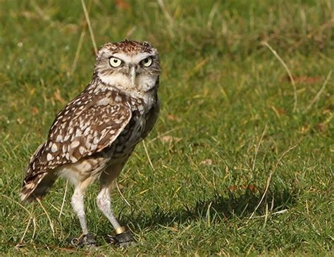 burrowing owl life expectancy