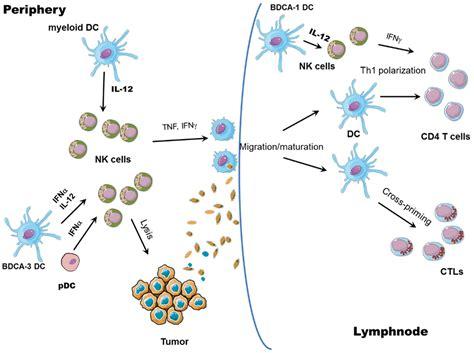 frontiers functional crosstalk between dendritic frontiers cross talks between killer cells and