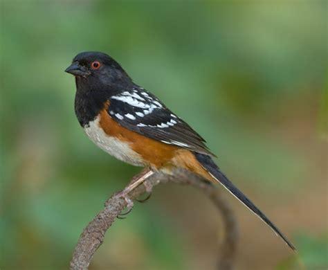 spotted towhee birdforum opus
