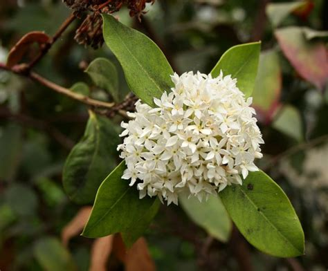 fragrant trees with white flowers acokanthera rotundata grows as a shrub or small tree its