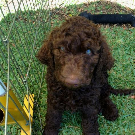 Labradoodle Do They Shed by Pin By On Amigos Peludos