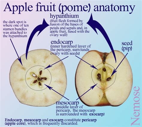 apple diagram malus x domestica apple facts biology fruit anatomy