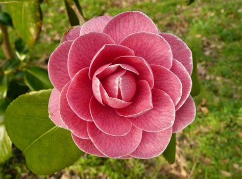 Camelia Pianta Da Esterno by Camellia Japonica Augusto Leal De Gouveia Pinto Plants