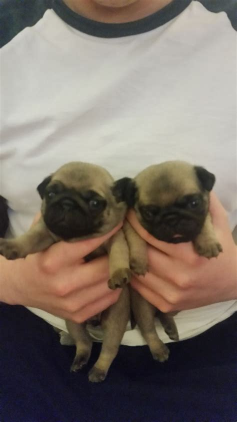 pug puppies for sale in edinburgh adorable pug puppies for sale edinburgh midlothian pets4homes