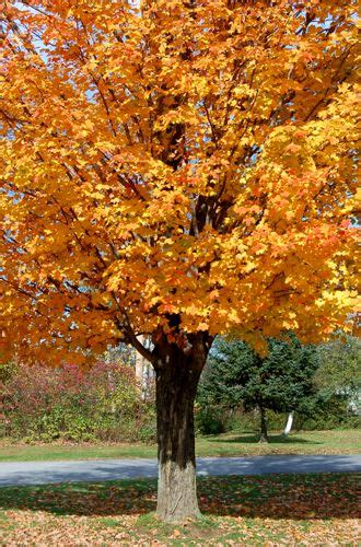 maple tree virginia the state tree sugar maple my roots via west virginia