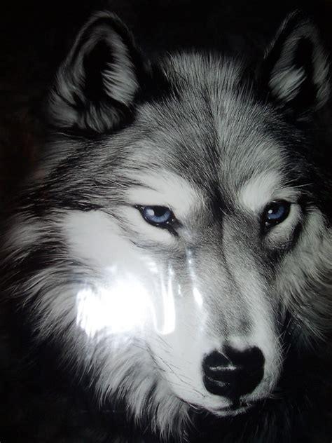 imagenes sorprendentes de lobos lobos im 225 genes y fotos