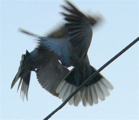 how do birds mate pictures of dove pigeon family mating