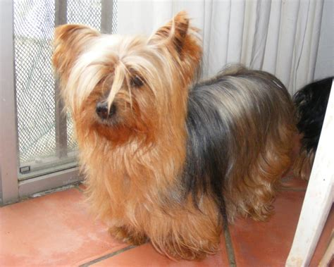 yorkie adoptions yorkie puppies for adoption yorkie rescue terrier dogs breeds picture