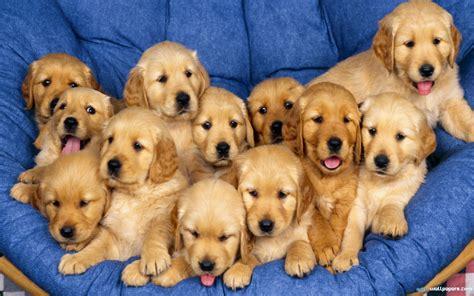yellow golden retriever yellow golden retriever puppies wallpaper