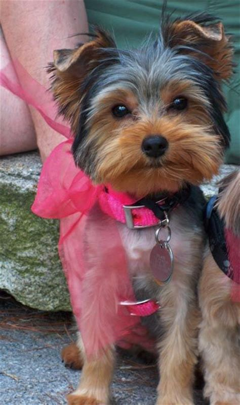 yorkie pics with short hair 14 best images about yorkie cuts on pinterest toys