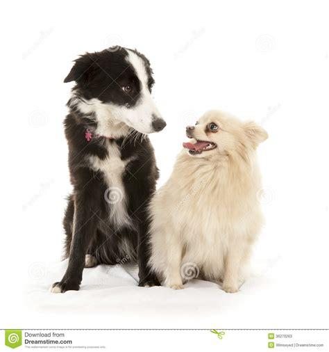 border collie  pomeranian dog stock image image
