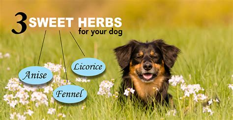 can dogs eat licorice anise fennel licorice what s the difference dogs naturally magazine