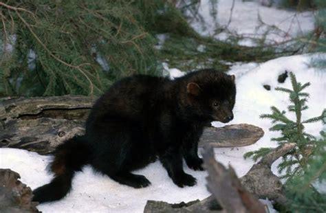 Tree Ground Blind Fisher Martes Pennanti Wildlife Journal Junior