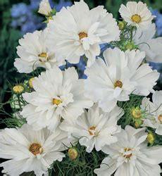 Benihbijibibit Bunga Lavatera Pastel Mix jual aneka bibit bunga jual bibit bunga murah