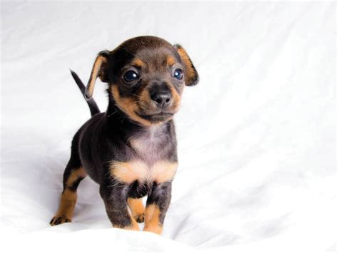 puppy pin quot miniature pinscher puppy quot miniature pinscher dogs mixes miniature